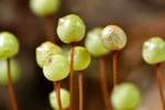 Common Apple-moss (Bartramia pomiformis)